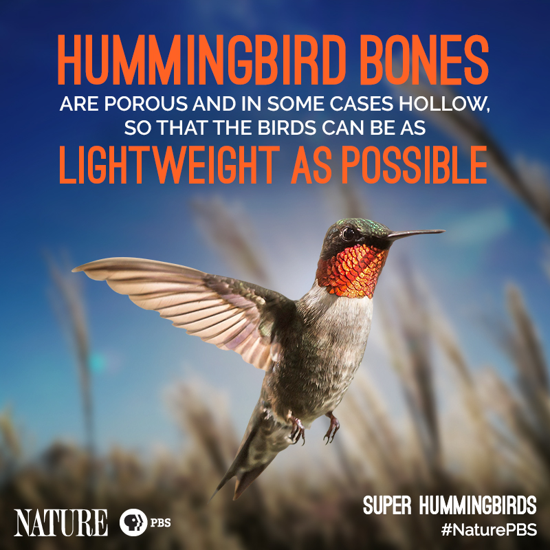 Nature-Hummingbird-Fact-6