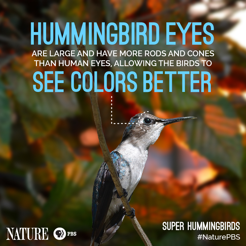 Nature-Hummingbird-Fact-8