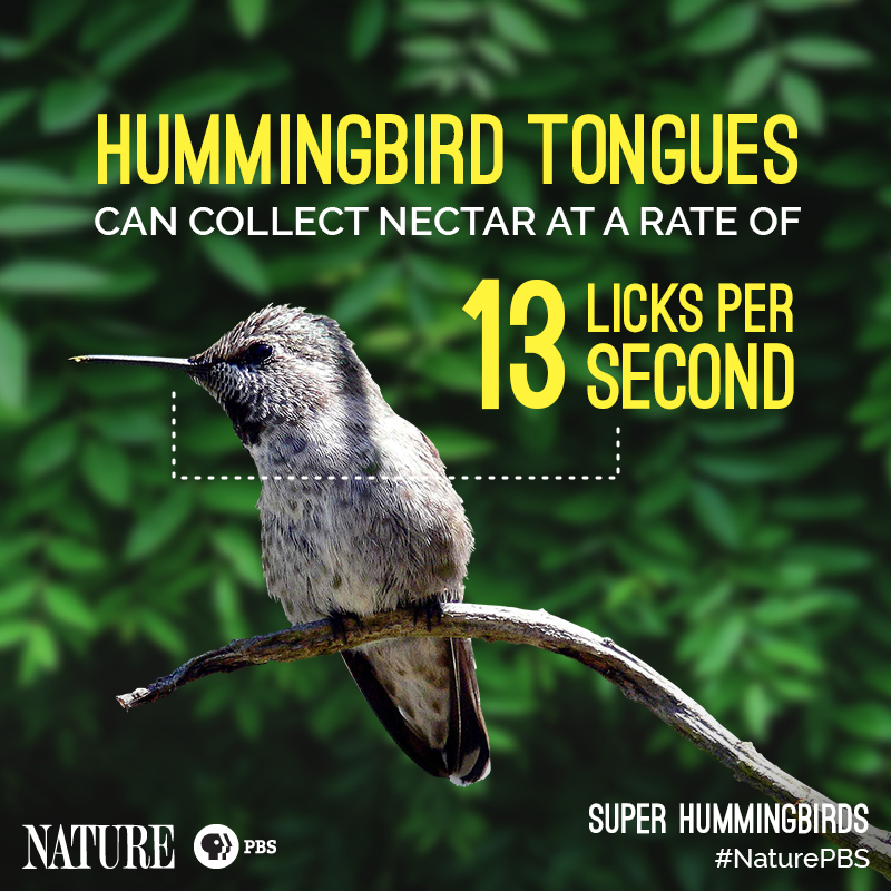 Nature-Hummingbird-Fact-9