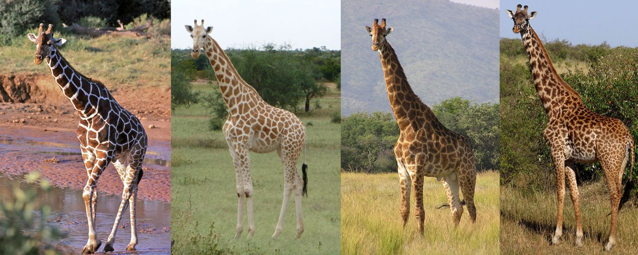 giraffe_collage_1