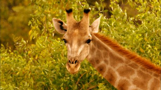 Giraffes: Africa's Gentle Giants -- Giraffes: Africa's Gentle Giants