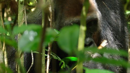 My Congo -- Close Encounter with Huge Silverback Gorilla