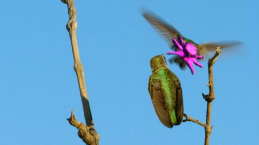 Clip |  Costa's Hummingbird Dances to Woo Mate