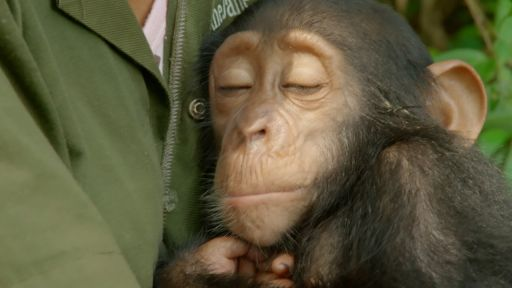 My Congo -- Orphaned Baby Chimp Snuggles with Caregiver