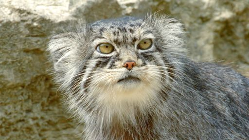 The Story of Cats | Asia to Africa -- Grumpy-Faced Cat is a Mountain Survivor