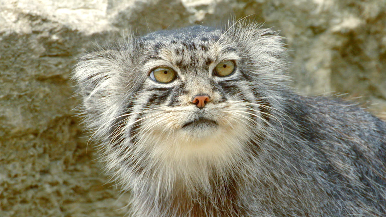 the story of cats grumpy faced cat is a mountain survivor nature