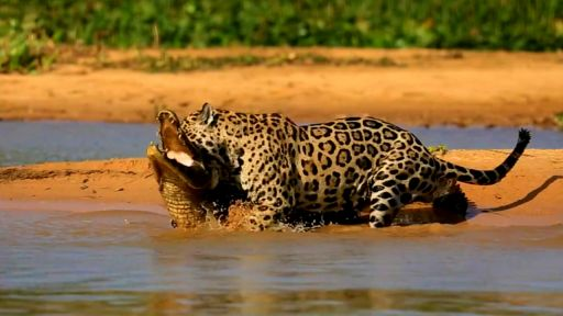 Clip |  Jaguar Attacks Caiman Crocodile