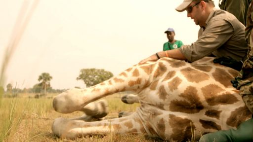 Giraffes: Africa's Gentle Giants -- Wildlife Vets Take Down Giraffe — To Save It!