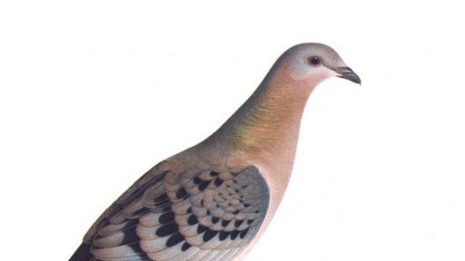 Could We Bring Back the Passenger Pigeon (or Other Extinct Species)?