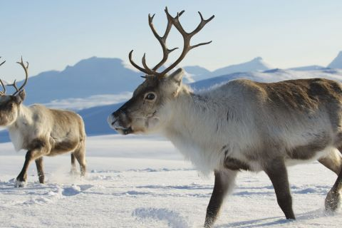 Everything You Wanted to Know About Reindeer and their Future in the Great White North