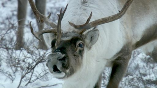Snowbound: Animals of Winter -- Reindeer Noses Really Do Glow Red