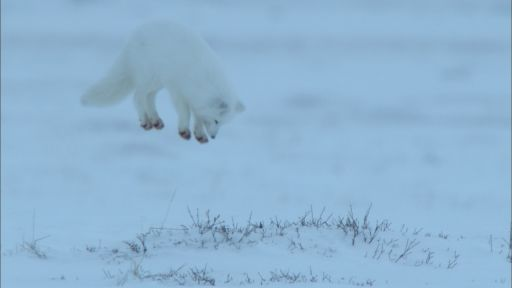 Snowbound: Animals of Winter -- Arctic Fox Dive Bombs Prey Hidden in the Snow
