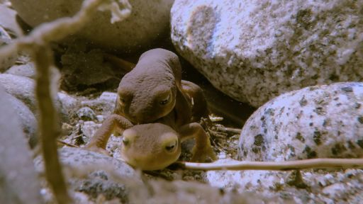 Yosemite -- Newt Mating in the High Sierra | Yosemite Web Exclusive