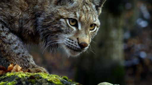Forest of the Lynx -- Forest Lynx Stalks Prey