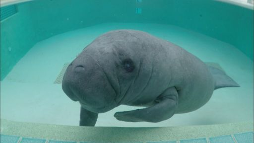 Clip |  Meet the Manatees