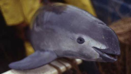 The Uncertain Future of the Vaquita