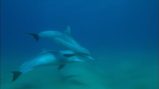 Dolphins: Spy in the Pod | Part 2 -- Bottlenose and Humpback Dolphins Become Friends