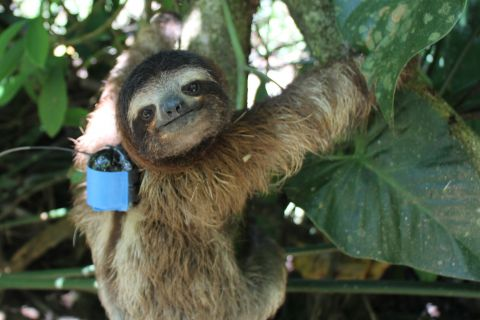 Why Are These Sloths Wearing Tiny Backpacks?