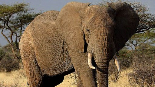 On #WorldElephantDay Learn About the Biggest Study of Africa's Elephants