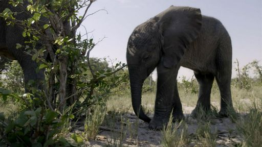 Naledi: One Little Elephant -- Orphaned Baby Elephant Struggles to Survive