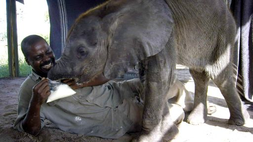Naledi: One Little Elephant -- How Not to Feed a Baby Elephant