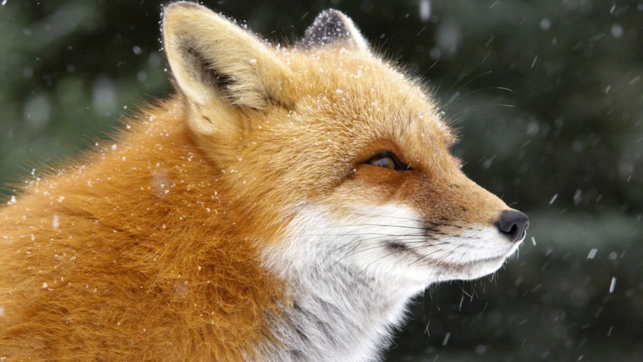fox tales about nature pbs