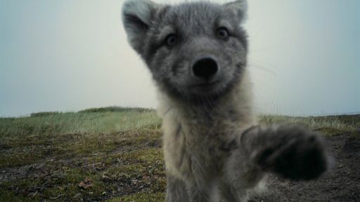 Clip |  Arctic Foxes Destroy Filmmaker's Camera
