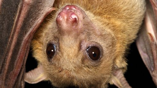 Bats Can Learn New 'Dialects' from Roostmates