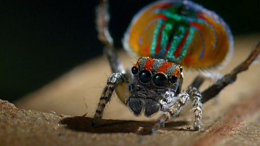Clip |  Peacock Spider Performs Colorful Dance to Attract Mate