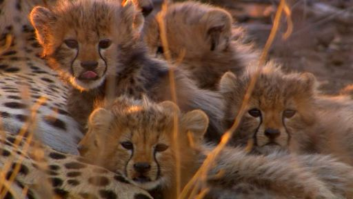 Clip |  Cameraman Discovers Five Baby Cheetahs