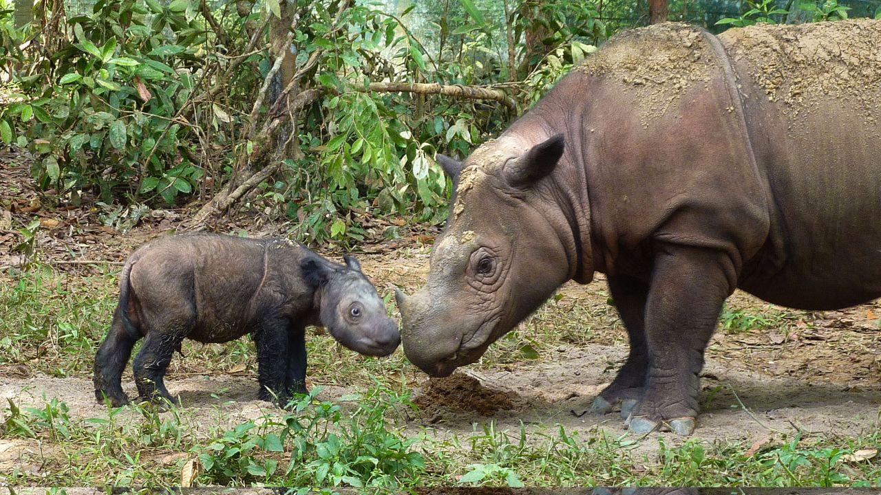 Rare for Millennia, Sumatran Rhinos On Brink of Extinction   Blog   Nature   PBS