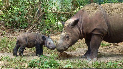 Rare for Millennia, Sumatran Rhinos On Brink of Extinction