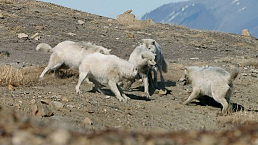 Arctic Wolf Pack -- Wolf Pack Teams Up to Fight Off Intruder