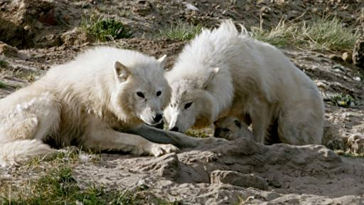 Arctic Wolf Pack -- Wolf Pup Nursed by Two Mothers