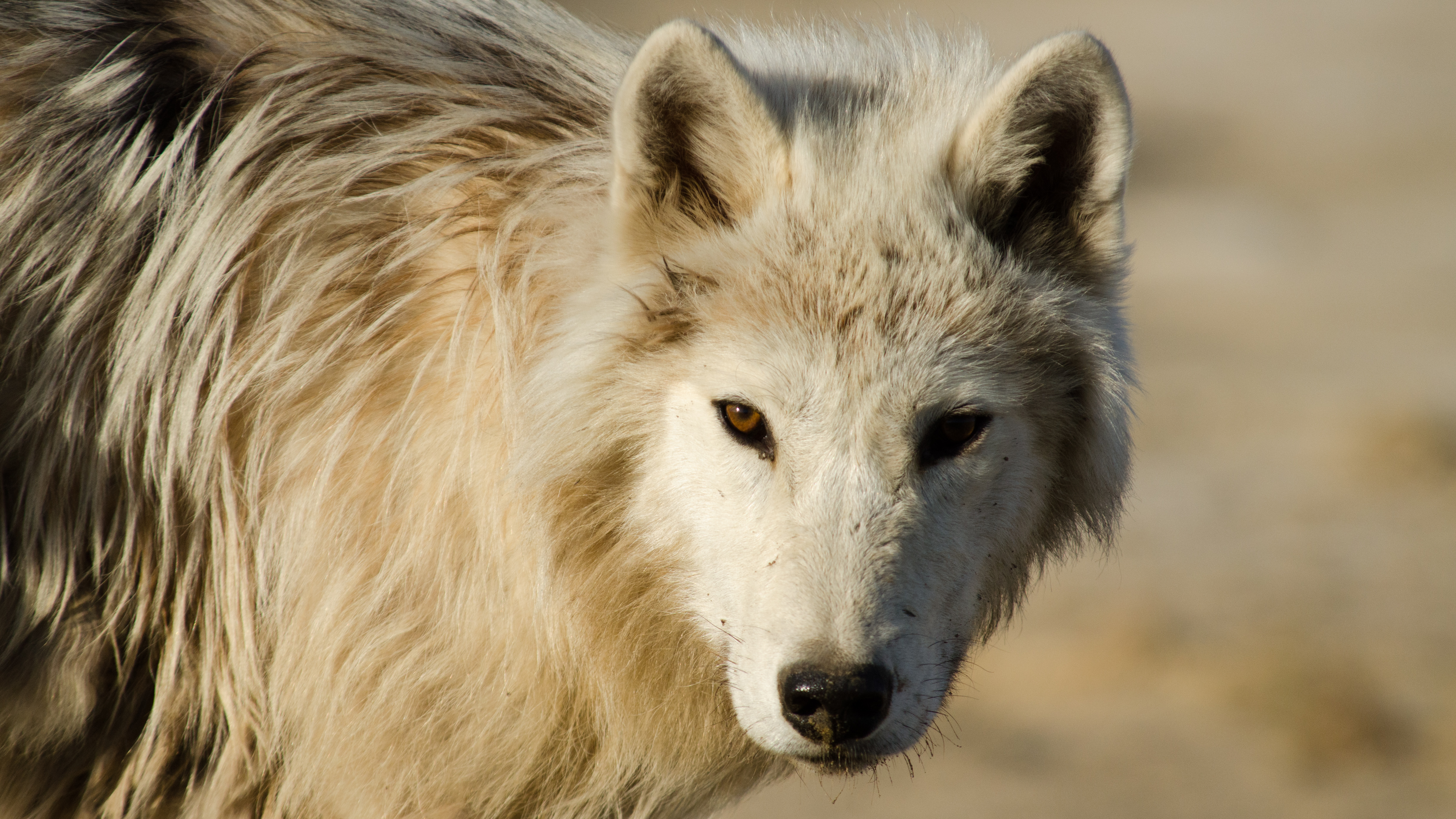 Arctic Wolf Pack Full Episode Nature Pbs