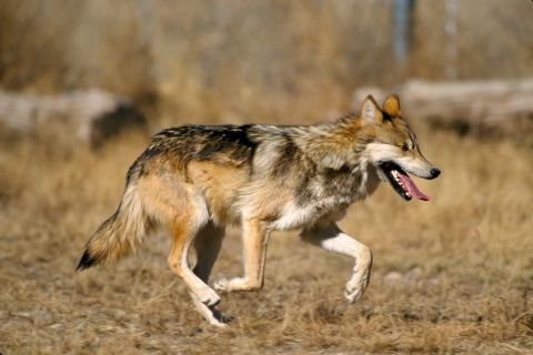 Standoff Over Mexican Gray Wolf Continues in Southwestern U.S.