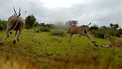 Animals with Cameras | Episode 2 -- 'Cheetah Cam' Captures Chase Through the Bush