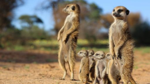 Hang with Meerkats in the Kalahari Desert | 360 Video