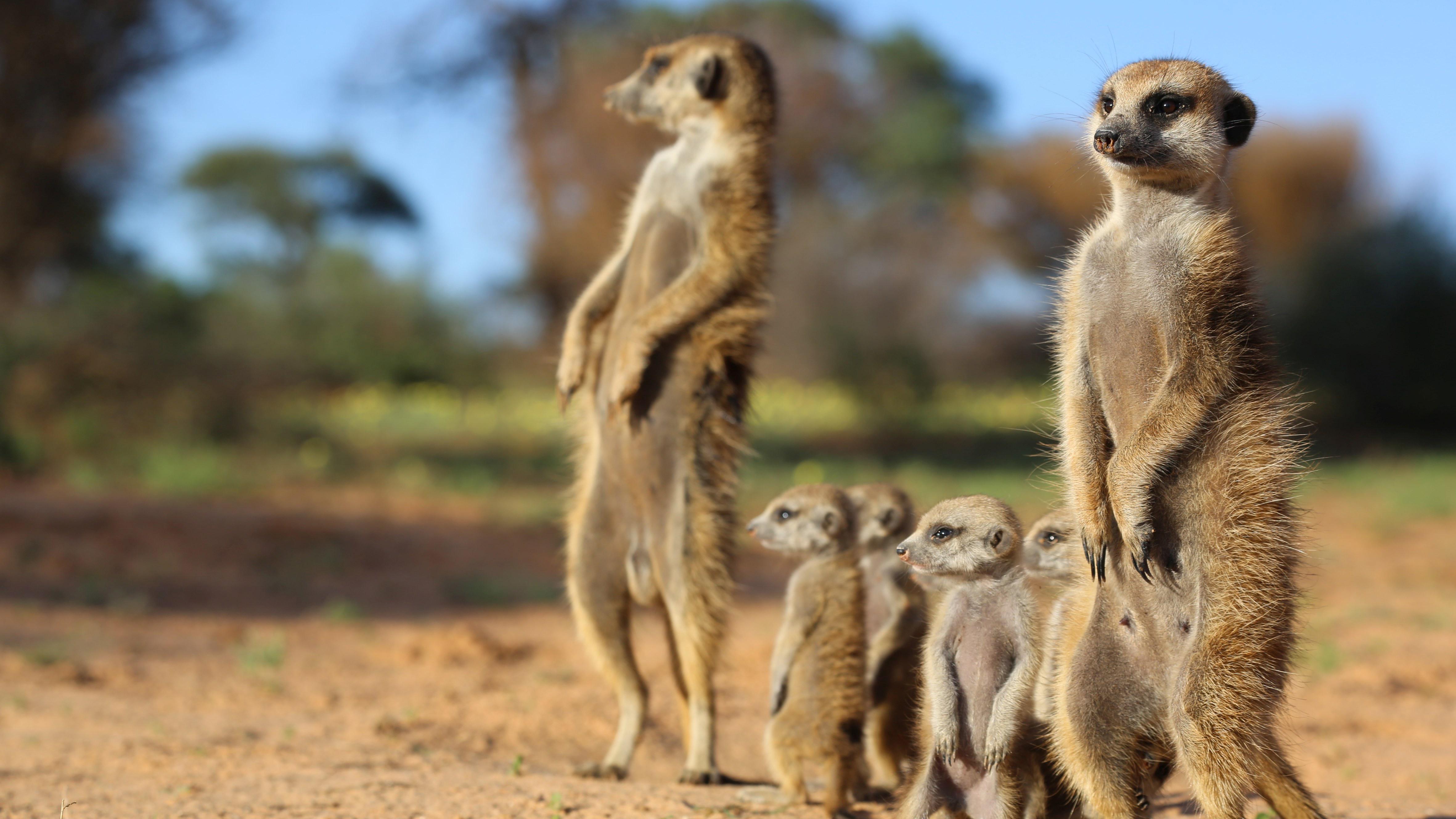 Kalahari Meerkats Web Cam