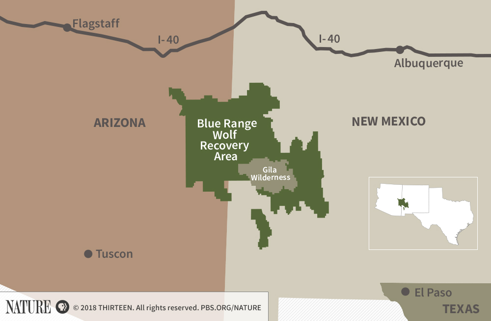 Standoff Over Mexican Gray Wolf Continues In Southwestern U S