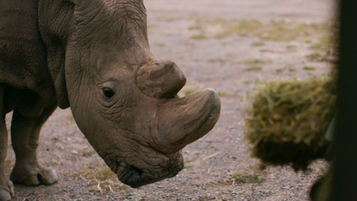 The Last Rhino -- How Sudan Became the Last Male Northern White Rhino