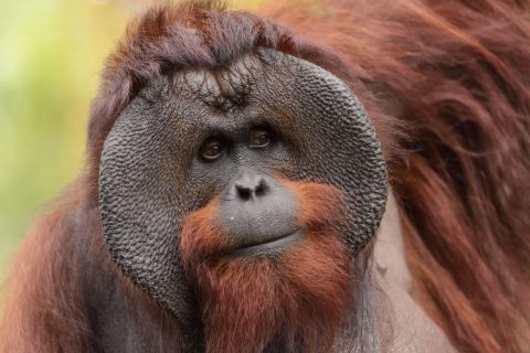 Nearly 150,000 Bornean Orangutans Have Disappeared Since 1999, Halving Population