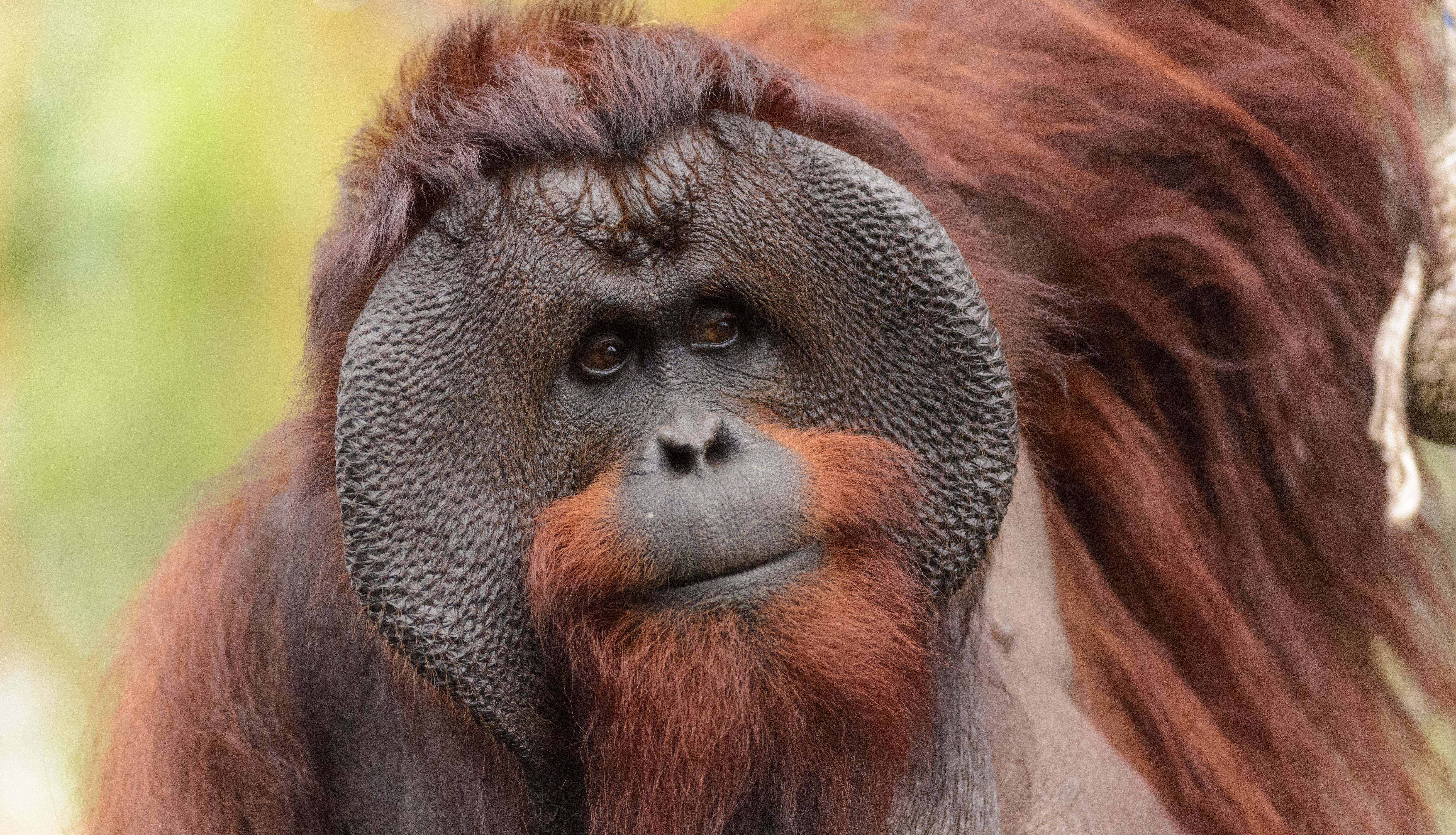 Nearly 150 000 Bornean Orangutans Have Disappeared Since