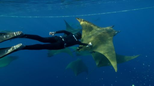 Clip |  Behind the Lens | Diving Deep with Camera-Wearing Devil Rays