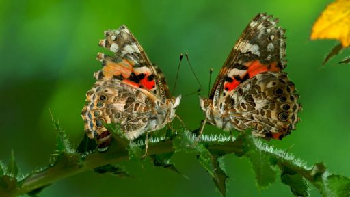 Clip | The Remarkable Way that Butterflies Mate