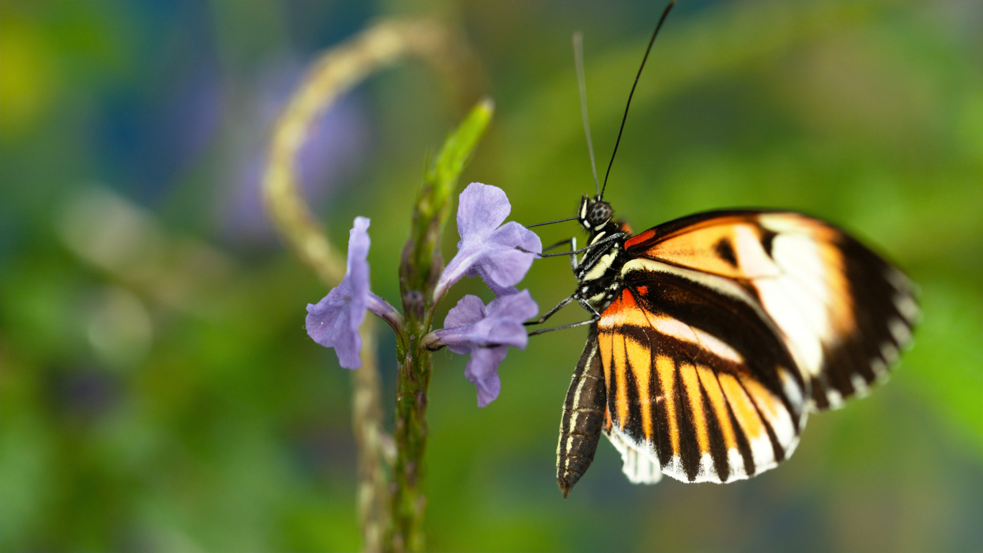 Sex, Lies and Butterflies | About | Nature | PBS