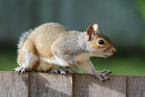 Problem-Solving Abilities Help Explain the Grey Squirrel's Success