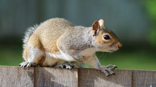 Problem-Solving Abilities Help Explain the Grey Squirrel's Success