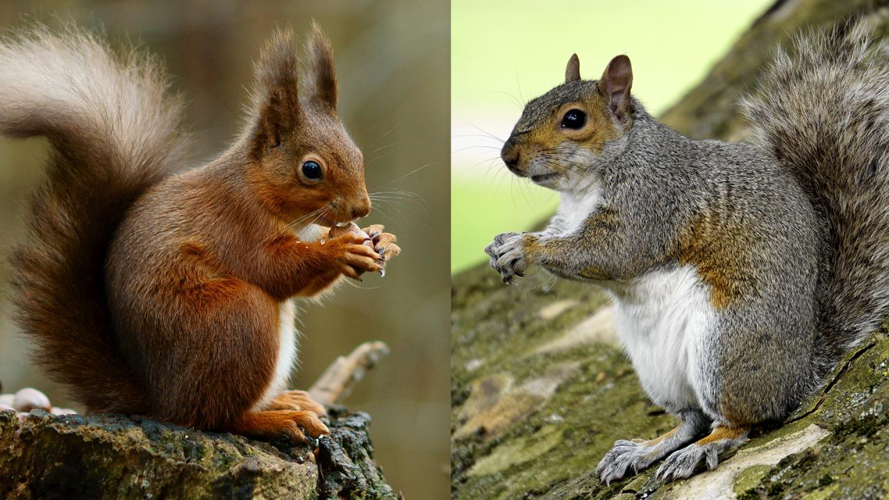 0d9c138d9f61 Problem-Solving Abilities Help Explain the Grey Squirrel s Success ...