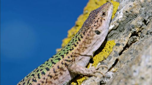 Clip |  Cannibal Wall Lizards in Greece